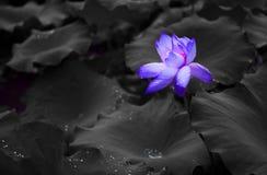 Blå lotusblomma med waterdrop Royaltyfri Fotografi
