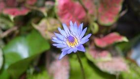 Blå lotusblomma och bi, Thailand lager videofilmer