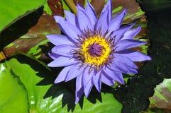 Blå lotusblommablomma Arkivbilder