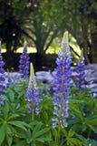 blå lupine royaltyfri bild