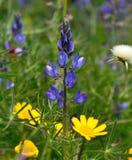 Blå lupine bland lösa blommor Royaltyfria Bilder