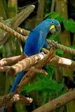 blå macaw Arkivfoto