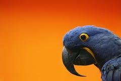 blå macaw royaltyfri bild