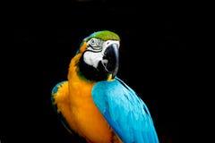 blå macaw Arkivbild