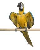 blå macaw som perching gult barn Fotografering för Bildbyråer