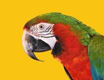 blå macawpapegojared Arkivfoto