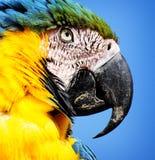 blå macawparrottyellow Fotografering för Bildbyråer
