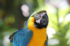 blå macawståendeyellow Fotografering för Bildbyråer