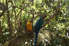 blå macawsyellow Royaltyfri Bild