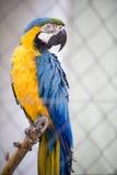 blå macawyellow Arkivbild