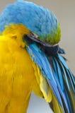 blå macawyellow Royaltyfria Bilder