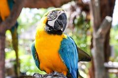 blå macawyellow Arkivfoto