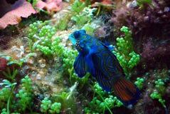 blå mandarin Arkivfoto