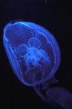 blå manet Fotografering för Bildbyråer