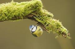 Blå mes; (Cyanistes caeruleus) sätta sig på en journal royaltyfri foto