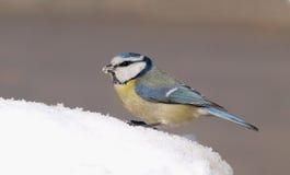 Blå mes (den Cyanistes caeruleusen) på snö Royaltyfri Foto
