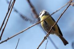 Blå mes för Eurasian på en filial, en liten passerinefågel royaltyfri foto