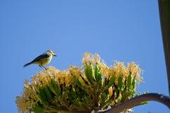 Blå mes på blomningen av magueyen royaltyfria foton
