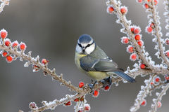 Blå mes, Paruscaeruleus Royaltyfri Fotografi