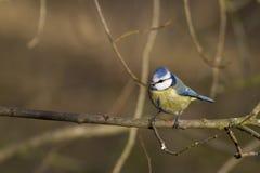 Blå mes (Paruscaeruleusen) royaltyfria foton