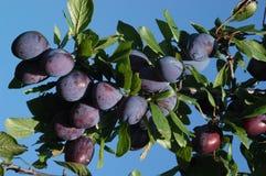 Blå mogen plommon i hem- fruktträdgård Arkivfoto
