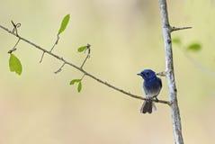 Blå monark - Hypothymis azurea arkivfoton