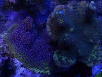 Blå Montipora korall Royaltyfri Bild