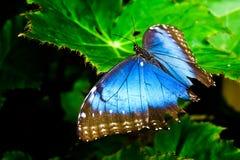 blå morf Royaltyfri Bild