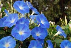 Blå morgonhärlighet Fotografering för Bildbyråer