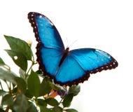 blå morpho Arkivfoton