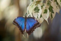 blå morpho Arkivbilder