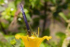 Blå Morpho fjäril i gul blomma Fotografering för Bildbyråer