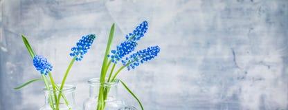 Blå Muscari i exponeringsglasvaser, vårmarskvinnors baner för vykort för dag royaltyfri foto