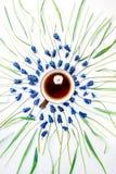 Blå muscariblomma och kopp te med kamomill Arkivbild