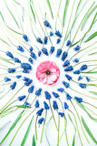 Blå muscariblomma och ranunculus på vit bakgrund Royaltyfri Foto