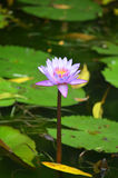 BLÅ NÄCKROSBLOMMA (nymphaeaceaen) Arkivfoto