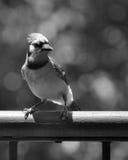 Blå nötskrika i svartvitt Arkivfoton