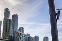 Blå nötskrika i Toronto Royaltyfri Foto