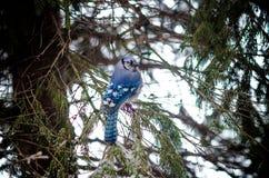 Blå nötskrika på snö täckte vinterträdfilialer Royaltyfri Bild