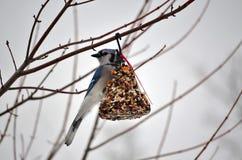 Blå nötskrika som äter frö Fotografering för Bildbyråer