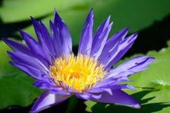 blå nymphaea Royaltyfri Fotografi