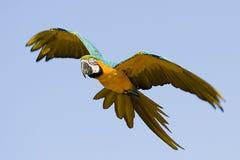 Blå och gul ara Arkivfoto