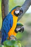Blå och gul ara (munkhättaararaunaen) Arkivbild