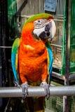 Blå och gul Macaw Royaltyfria Foton