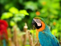 Blå-och-Gul Macaw Arkivbilder