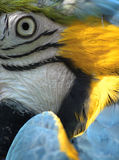 Blå och gul macaw Royaltyfri Fotografi