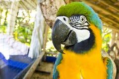 Blå och gul macawhuvudnärbild royaltyfri foto