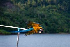 Blå och gul Macow papegoja i löst arkivbild
