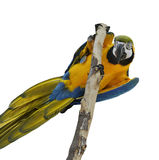 Blå och guld- ara Arkivfoto