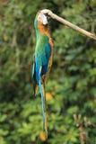 Blå-och-guld macaw Royaltyfria Foton